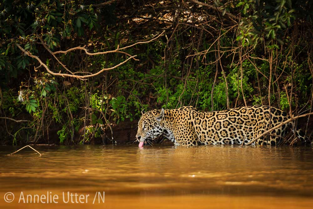 Jaguar – Det tredje största kattdjuret11