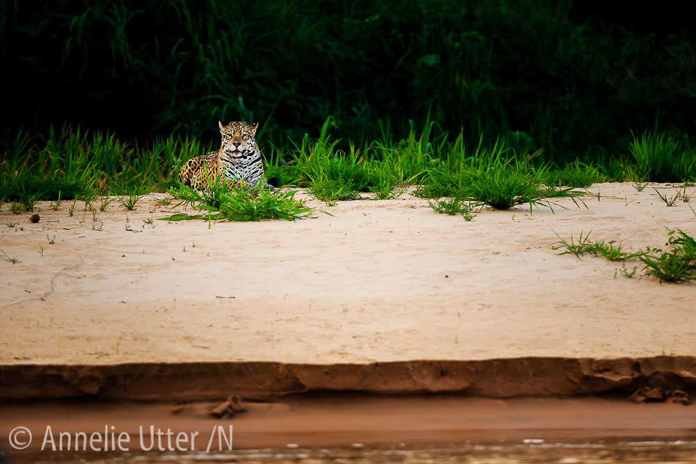 Jaguar – Det tredje största kattdjuret13