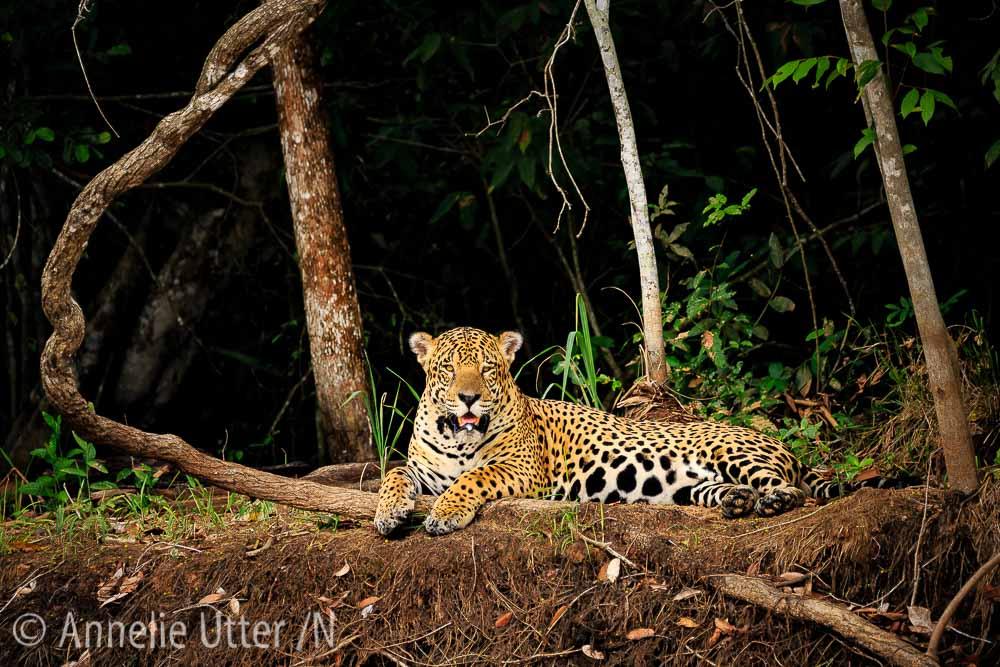 Jaguar – Det tredje största kattdjuret14