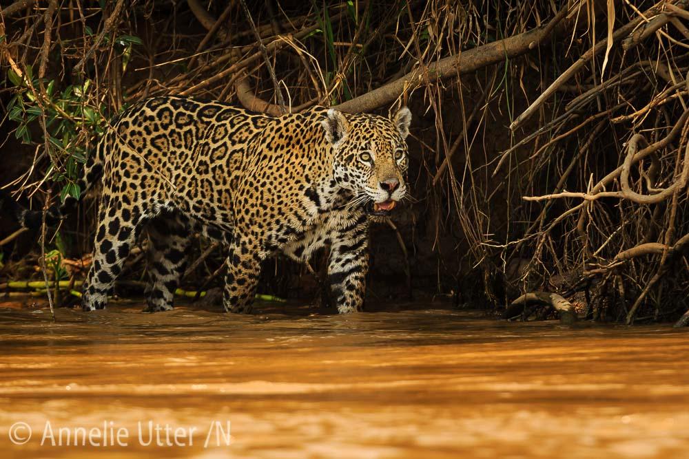 Jaguar – Det tredje största kattdjuret