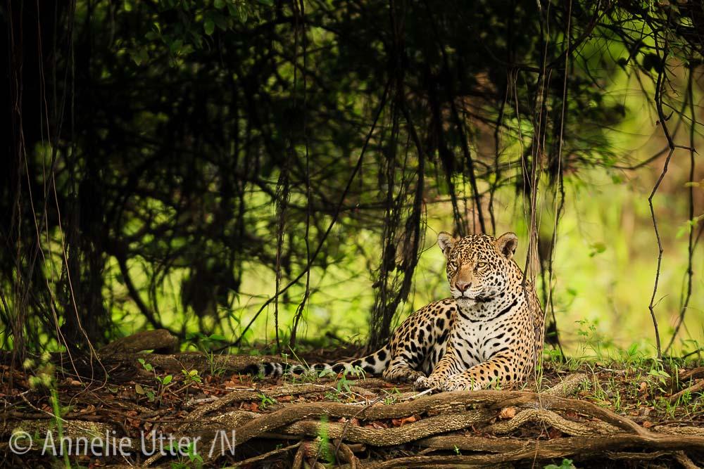 Jaguar – Det tredje största kattdjuret6