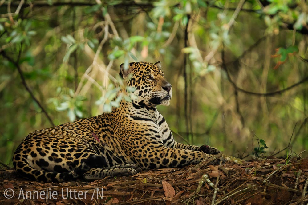 Jaguar – Det tredje största kattdjuret8