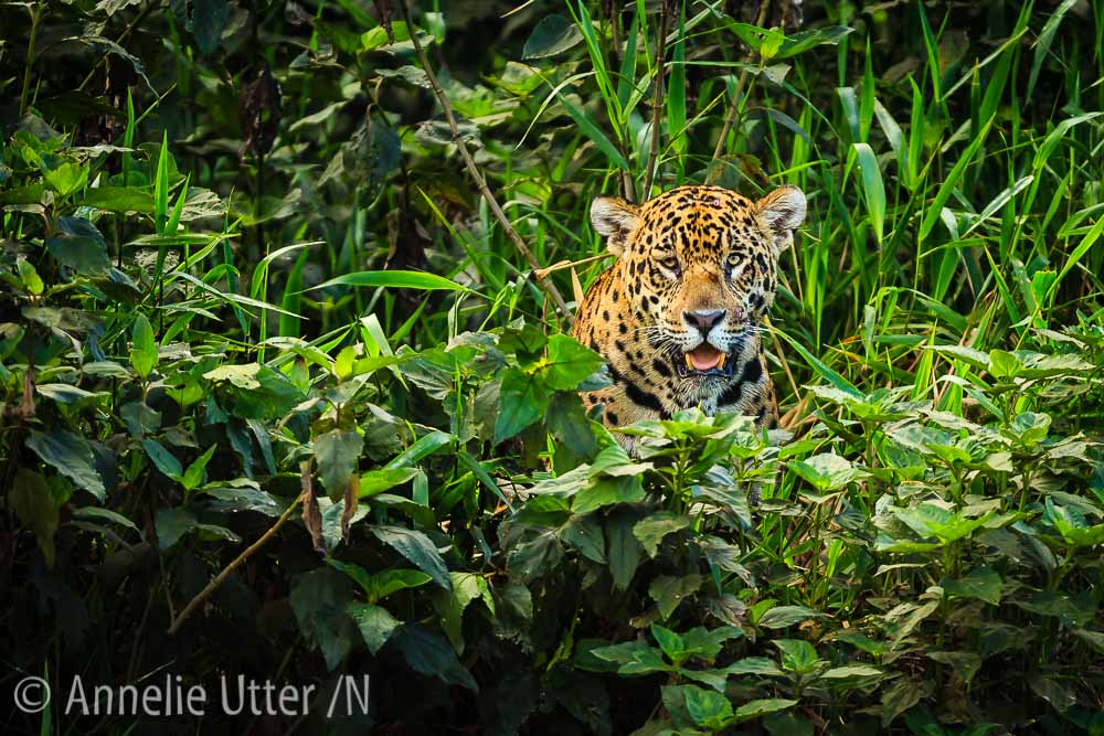 Jaguar – Det tredje största kattdjuret9