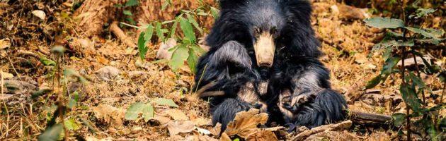 Läppbjörn