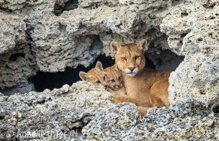 Puma - världens fjärde största kattdjur