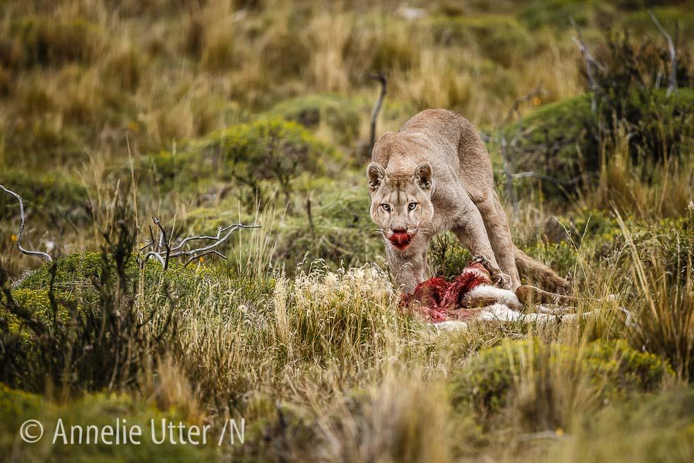 Puma chile