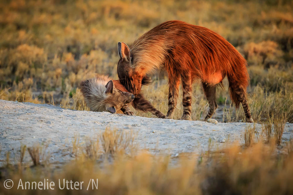Brun hyena
