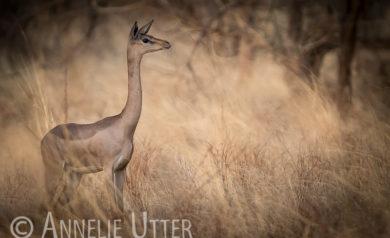 giraffantilop