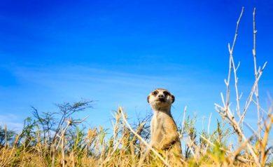 kalahariöknen surikat