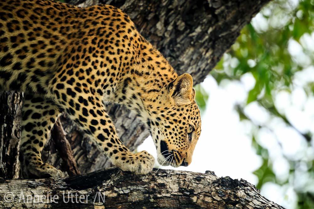 kalahariöknen leopard