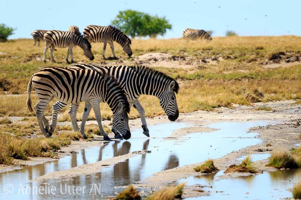 kalahariöknen botswana