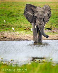 Elefant i okavangodeltat