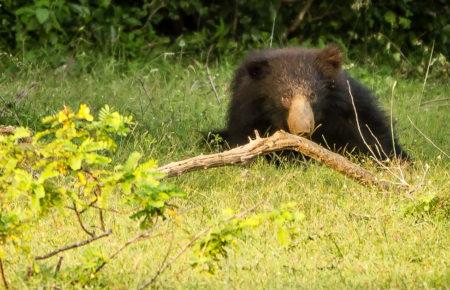 Se läppbjörn på Sri lanka