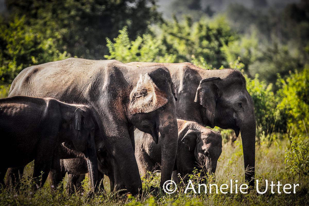 Vilda djur på Sri lanka - elefant
