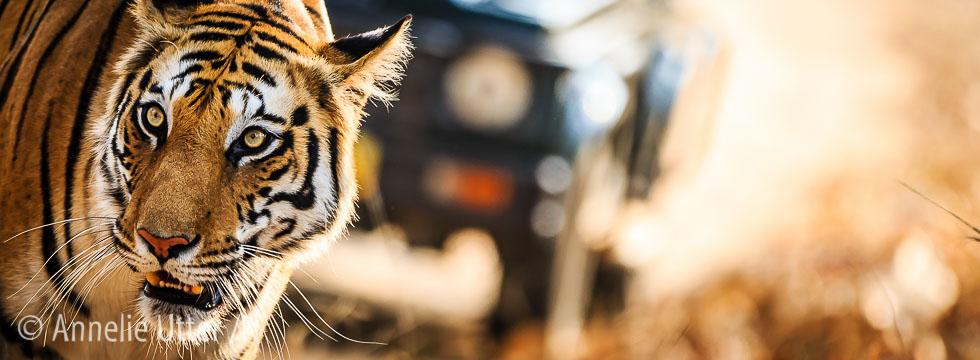 fotografera tiger