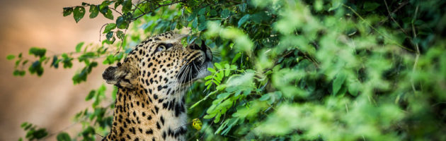 leopard på Sri Lanka