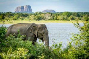 Lankesisk elefant