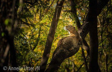 Leopard Indien