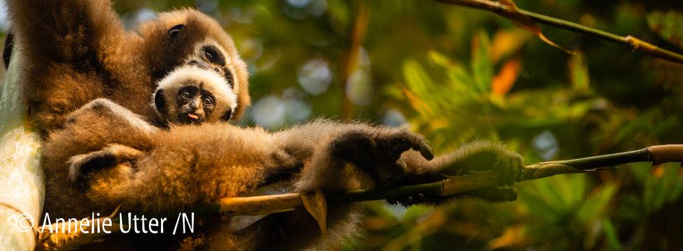 Gibbon apa nepal