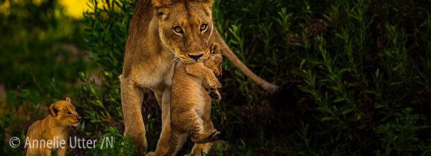 Lejon Botswana