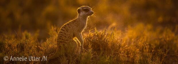 Botswana Surikat