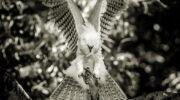 Harpy eagle Harpia harpyja Harpyja, Harpy eagle, Rapto